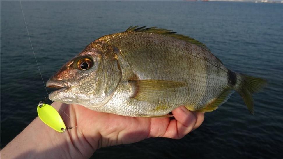ласкирь рыба фото канделаки